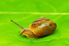 Free Lipped Snail Royalty Free Stock Images - 6347029
