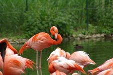 Free Pink Flamingos Royalty Free Stock Photography - 6347737