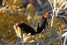 Free Pair Of Desert Blister Beetle (Lytta Vulnerata) Stock Image - 6347801