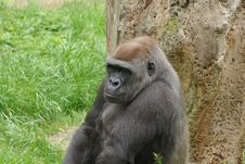 Free Big Gorilla Is Looking Mean Royalty Free Stock Photo - 6347885