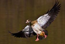 Egyptian Goose Landing Royalty Free Stock Images