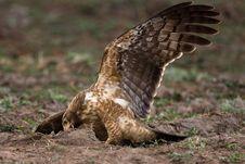 Free African Harrier Hawk Stock Image - 6348271
