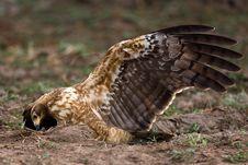 Free African Harrier Hawk Stock Photo - 6348310