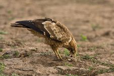 Free African Harrier Hawk Stock Photography - 6348322
