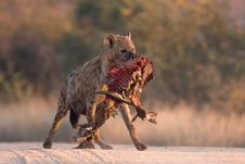 Free Spotted Hyena In Road Royalty Free Stock Photo - 6348335