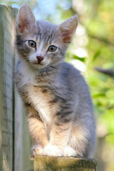Free Gray Kitten Royalty Free Stock Photos - 6348768