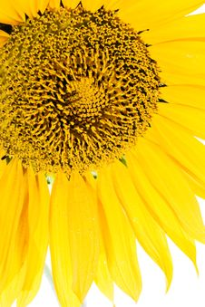 Free Sunflower Closeup Royalty Free Stock Image - 6348906
