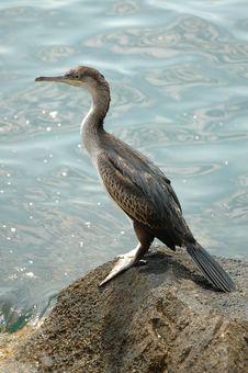 Free Cormorant Stock Photography - 6349552