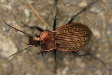 Free Bronze Beetle Stock Photography - 6349832