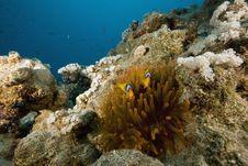 Free Red Sea Anemonefish (Amphipiron Bicinctus) Stock Photos - 6349943