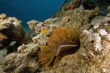 Free Red Sea Anemonefish (Amphipiron Bicinctus) Royalty Free Stock Photo - 6349955