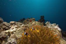 Free Red Sea Anemonefish (Amphipiron Bicinctus) Royalty Free Stock Photo - 6349965