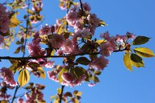 Free Pink Sakura &x28;cherry&x29; Blossom Against Blue Sky Royalty Free Stock Photos - 63454148