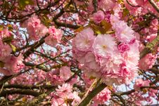 Free Pink Blossomed Sakura Flowers Royalty Free Stock Photography - 63457957