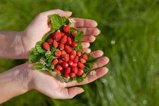 Free Wild Strawberries  In Hands Stock Photo - 6350290
