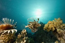 Free Common Lionfish (pterois Miles) Stock Photography - 6350422