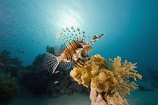 Free Common Lionfish (pterois Miles) Stock Images - 6350434