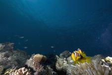 Free Red Sea Anemonefish (Amphipiron Bicinctus) Royalty Free Stock Photo - 6350795