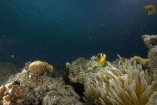 Free Red Sea Anemonefish (Amphipiron Bicinctus) Stock Photography - 6350802