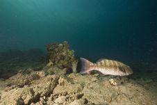 Free Red Sea Coralgrouper (plectropomus Pessuliferus) Stock Photography - 6350812