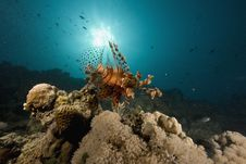 Free Common Lionfish (pterois Miles) Royalty Free Stock Image - 6350906