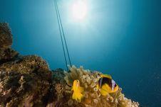 Free Red Sea Anemonefish (Amphipiron Bicinctus) Stock Image - 6351631