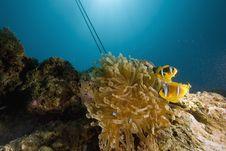 Free Red Sea Anemonefish (Amphipiron Bicinctus) Royalty Free Stock Images - 6351639