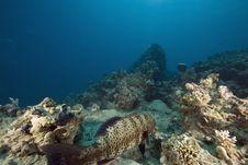 Free Red Sea Coralgrouper (plectropomus Pessuliferus) Royalty Free Stock Photo - 6351655