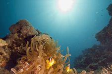 Free Red Sea Anemonefish (Amphipiron Bicinctus) Royalty Free Stock Photo - 6351675