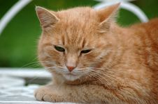 Free Red Green-eyed Cat Royalty Free Stock Image - 6351916