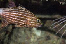 Free Tiger Cardinalfish (cheilodipterus Macrodon) Stock Images - 6352144