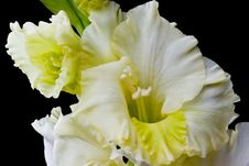 Free Gladiolus Royalty Free Stock Images - 6352159