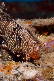 Free Common Lionfish (pterois Miles) Stock Photos - 6352193