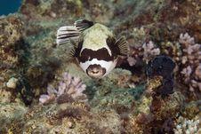 Free Masked Puffer (arothron Diadematus) Royalty Free Stock Image - 6352196
