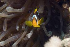 Free Red Sea Anemonefish (Amphipiron Bicinctus) Stock Images - 6352214