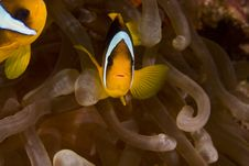 Free Red Sea Anemonefish (Amphipiron Bicinctus) Stock Image - 6352221