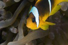 Free Red Sea Anemonefish (Amphipiron Bicinctus) Stock Image - 6352231