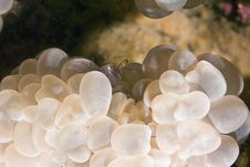 Bubble Coral Shrimp (vir Philippinensis) Royalty Free Stock Image