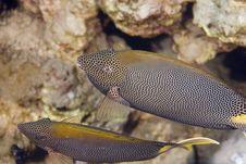 Free Stellate Rabbitfish (siganus Stellatus Laqueus) Royalty Free Stock Photography - 6352317