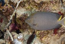 Free Stellate Rabbitfish (siganus Stellatus Laqueus) Stock Photo - 6352340