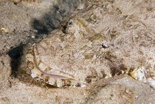 Free Indean Ocean Crocodilefish (papilloculiceps Longic Royalty Free Stock Photography - 6352367