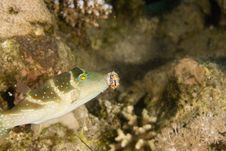 Free Crowned Toby (canthigaster Coronata) Stock Images - 6352414