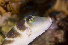 Free Crowned Toby (canthigaster Coronata) Royalty Free Stock Photo - 6352445