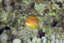 Free Oman Anthias (pseudanthias Marcia) Stock Photos - 6352483