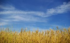 Free Wheat Field Royalty Free Stock Photography - 6352647