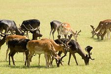 Grazing Deers Royalty Free Stock Images