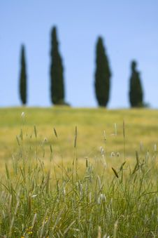 Tuscany Countryside, Spikes Stock Photo