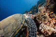Free Hawksbill Turtle (eretmochelys Imbricata) Royalty Free Stock Photography - 6352807