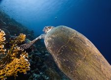 Free Hawksbill Turtle (eretmochelys Imbricata) Royalty Free Stock Photos - 6352818