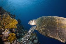 Free Hawksbill Turtle (eretmochelys Imbricata) Royalty Free Stock Photos - 6352828